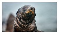 Fur Seal Pup, Stromness