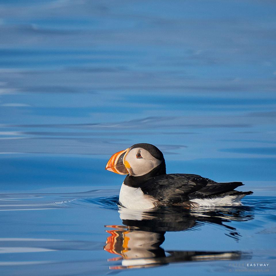 Puffin, Fugle Fjord, Svalbard