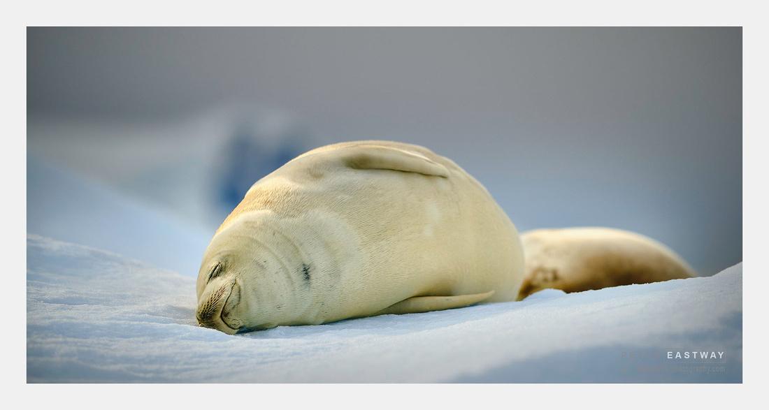 Crabeater Seal Paradise Bay