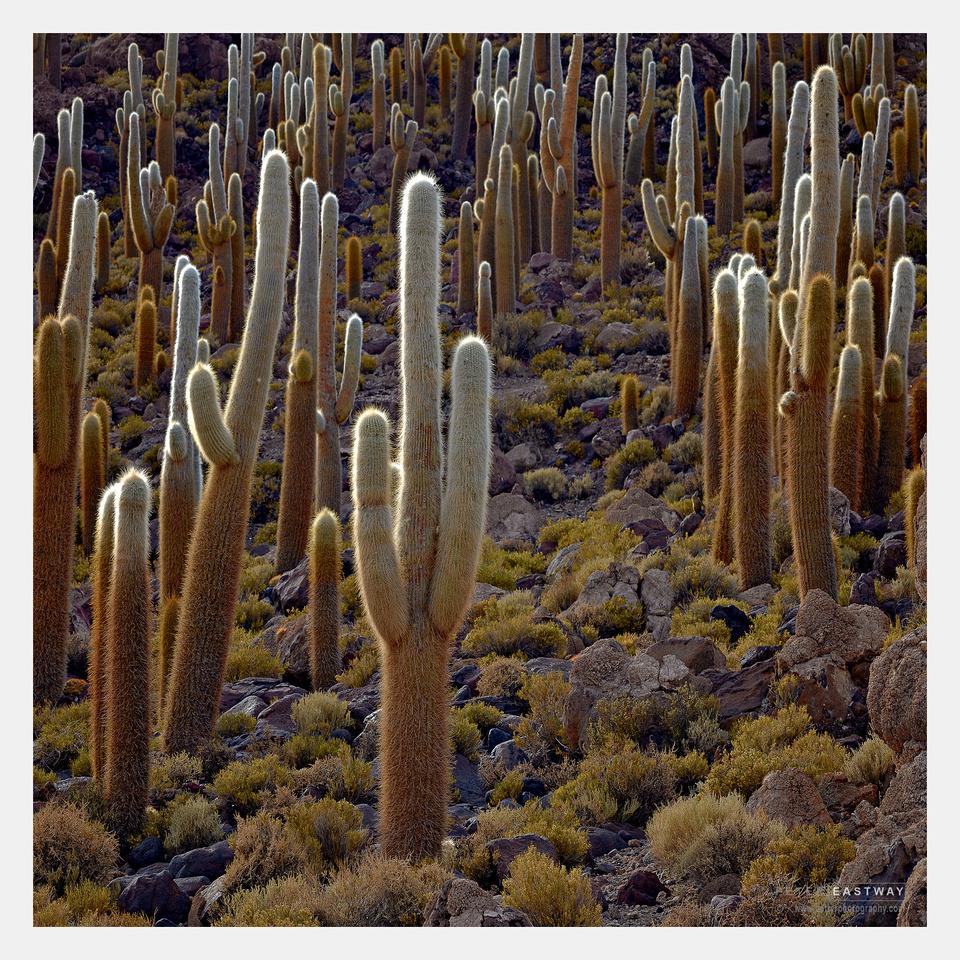 Cacti, Uyuni, Bolivia