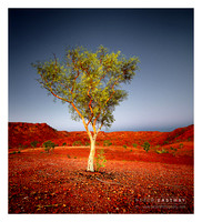 Desert Queen Tree 2
