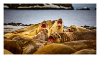 Sea Elephants